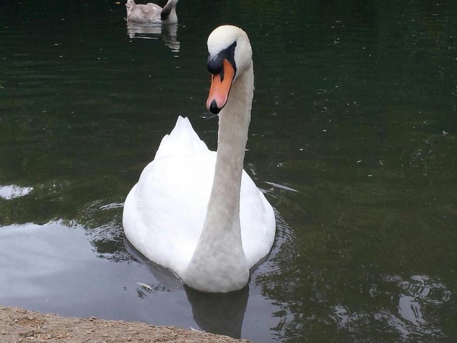 Swan by TrixieCherry