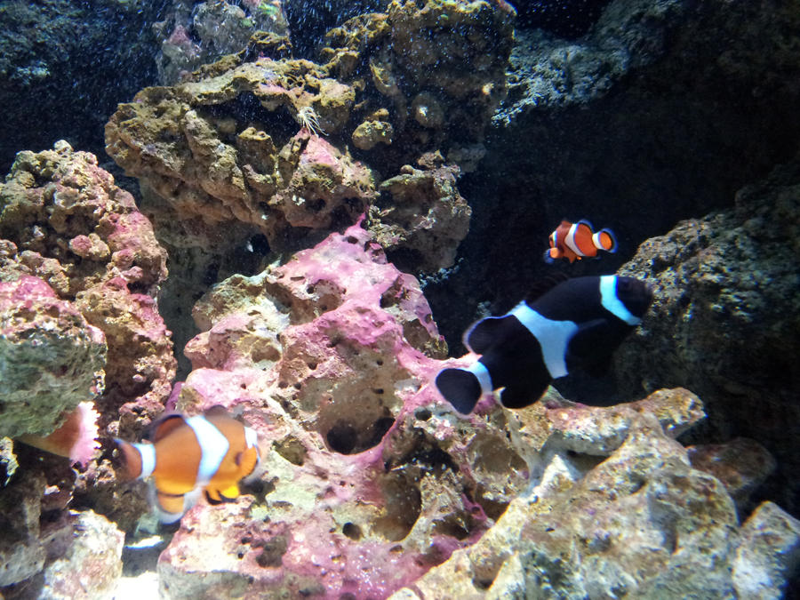 Clownfish 3 by TrixieCherry