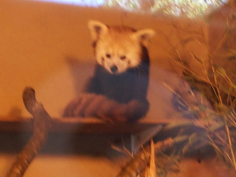 Red Panda 2 by TrixieCherry