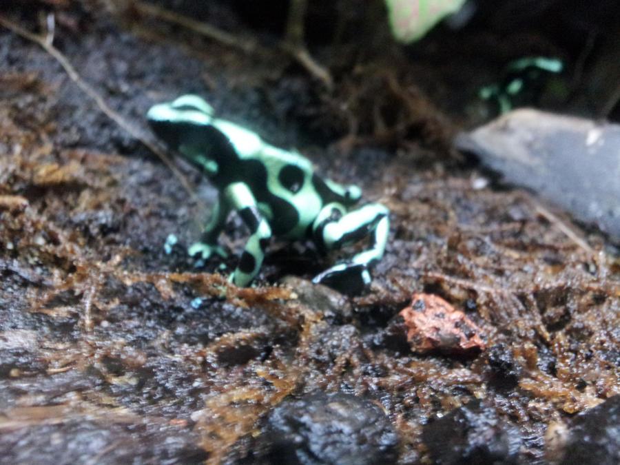 Frog 1 by TrixieCherry