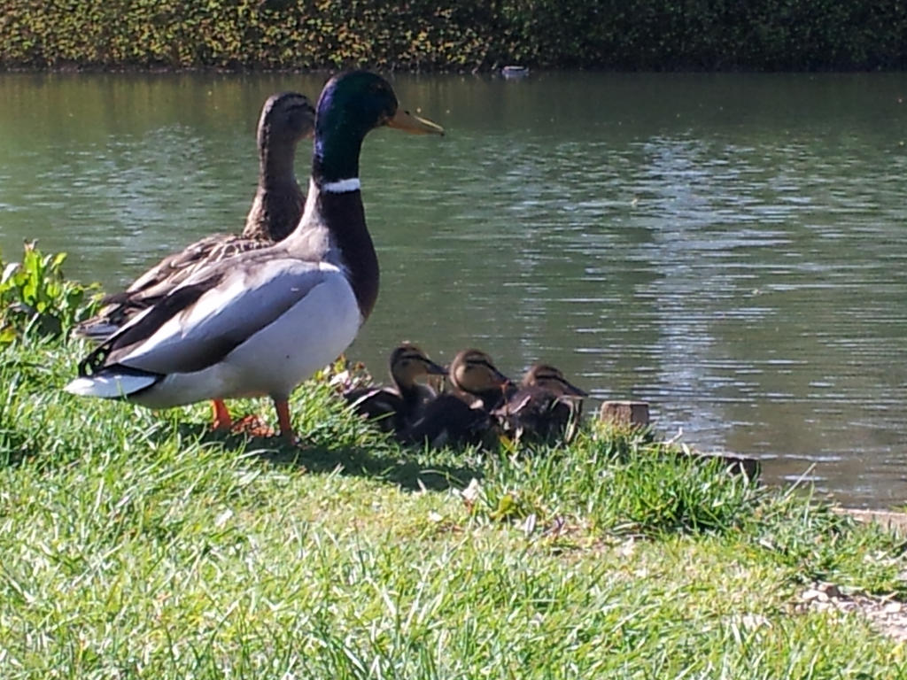 Duck Famliy by TrixieCherry