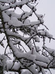Cherry Tree in the Snow