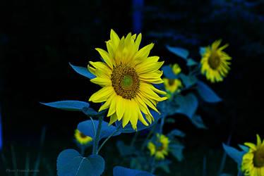 Sunflowers in twilight by VesnaRa014