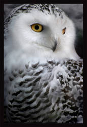 Hedwig. by lucias-tears