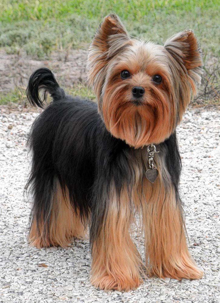 1000 Images About Yorkie On Pinterest Yorkie Yorkshire