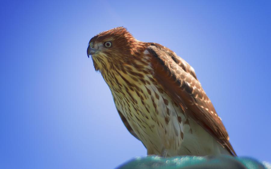 Hawk or Falcon? by LizleMouton