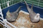 Relaxing cockatiels