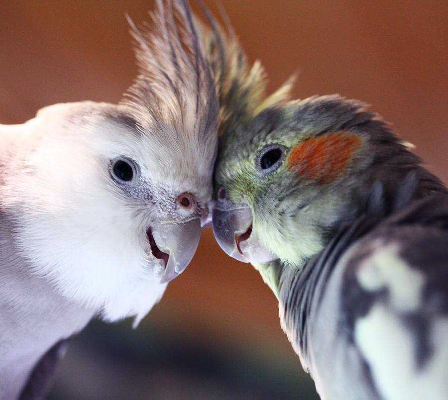 Cockatiel love by Pepperfrukt