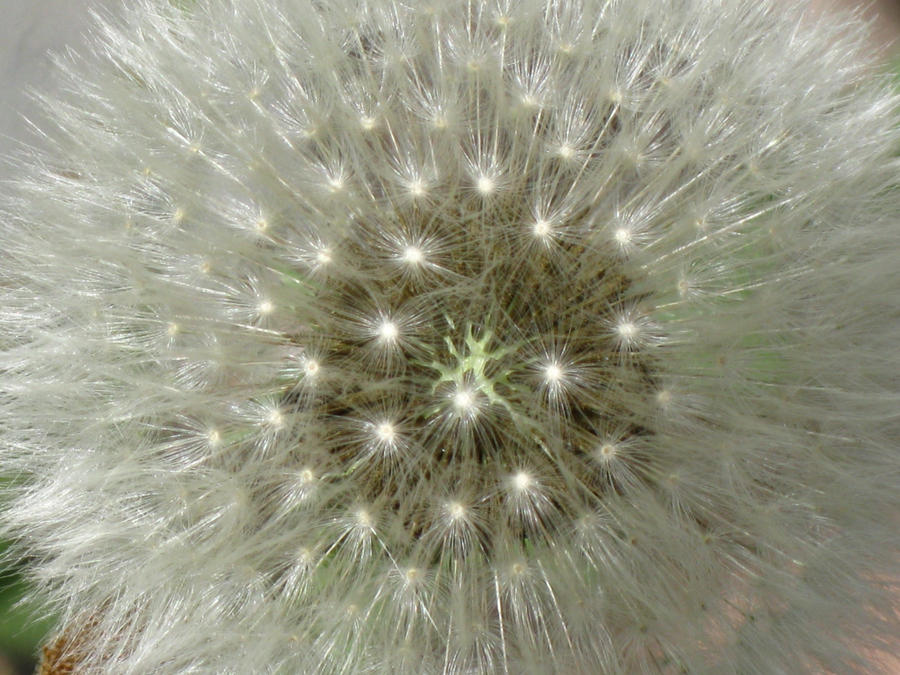 Dandelion 2 by Aristedes