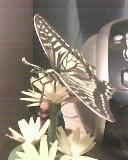 butterfly on a flower by mor4674j