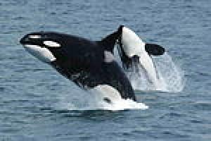 Orca217's Profile Picture