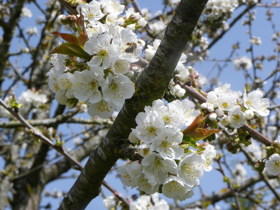 Cherry Blossom Tree 7 By Mad Girls On Deviantart