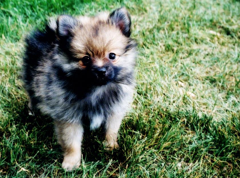 Pristine Pomeranian by jessicarae24