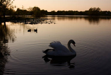 Swan by spurs06