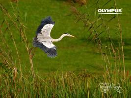 PB110212 Grey Heron by jitspics