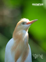 P5015288 Cattle Egret by jitspics