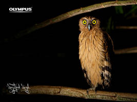 Buffy Fish-owl by jitspics