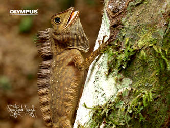 Blue-eyed Angel-Headed Lizard by jitspics