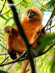 P4198851_Red Leaf Monkey by jitspics