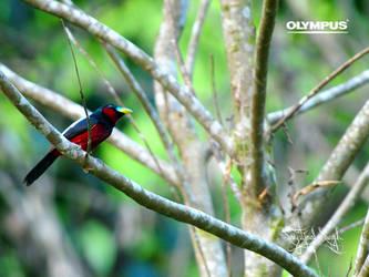P4209617_Black-and-red Broadbi by jitspics