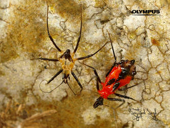 Assassin Bug by jitspics