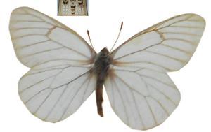 White Moth Butterfly by magicsart