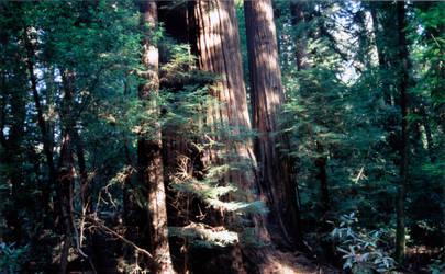 Redwood by DavidDeFino