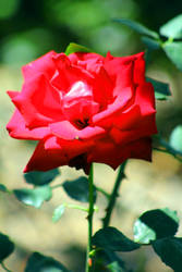 Imperfect Rose by DavidDeFino