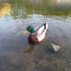Happy wild duck