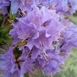 Violet kingdom