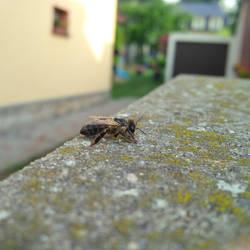 Slowly dying bee 1/3