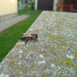 Slowly dying bee 2/3