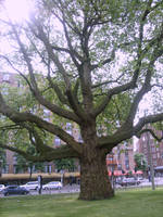 old tree in Amsterdam by ingeline-art