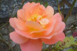 salmon rose closer by ingeline-art