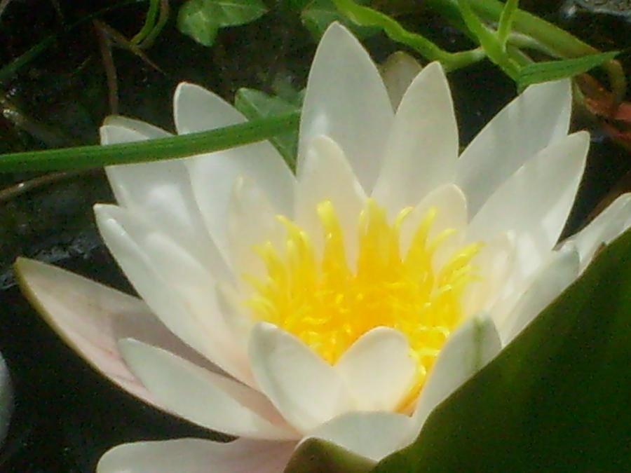 white waterlily macro by ingeline-art