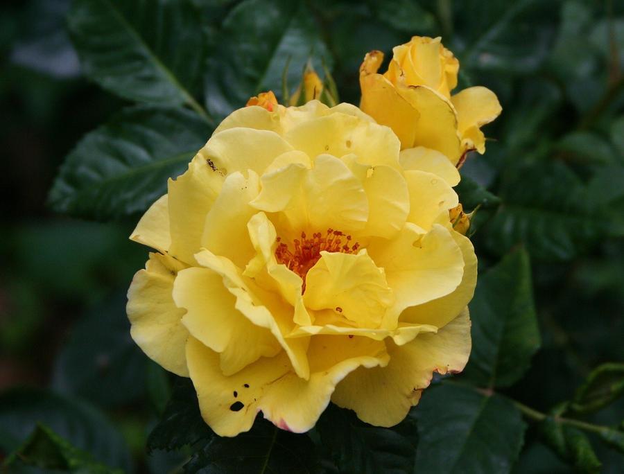 rose love 10 by ingeline-art