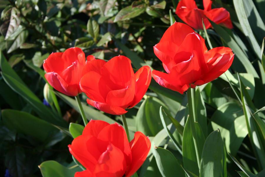 tulips in my garden 11 by ingeline-art