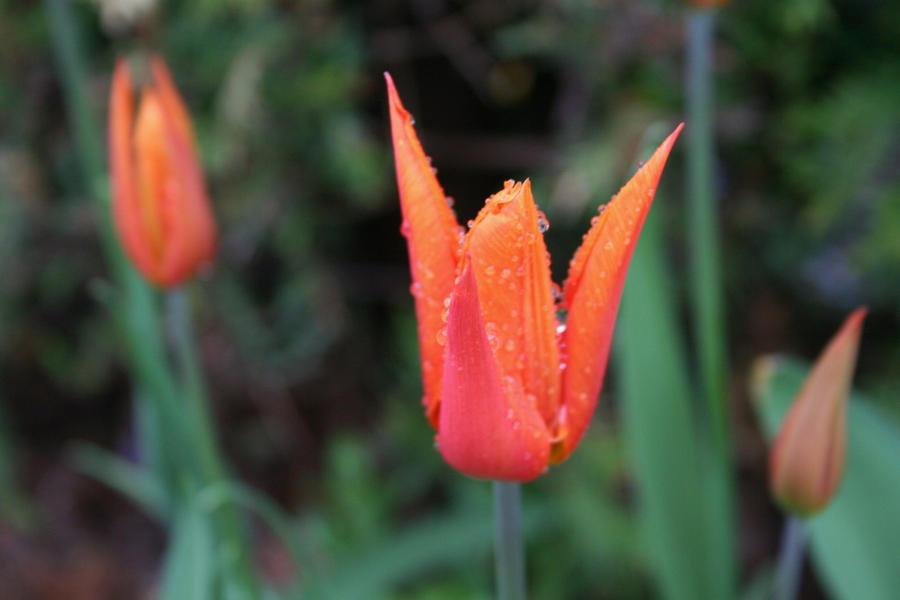 tulips in rain by ingeline-art