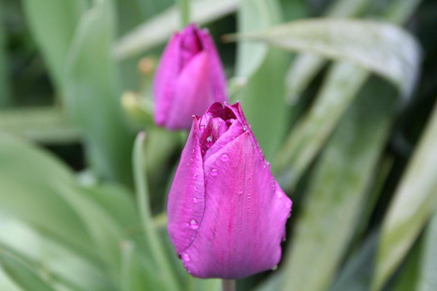 tulips in rain 7 by ingeline-art