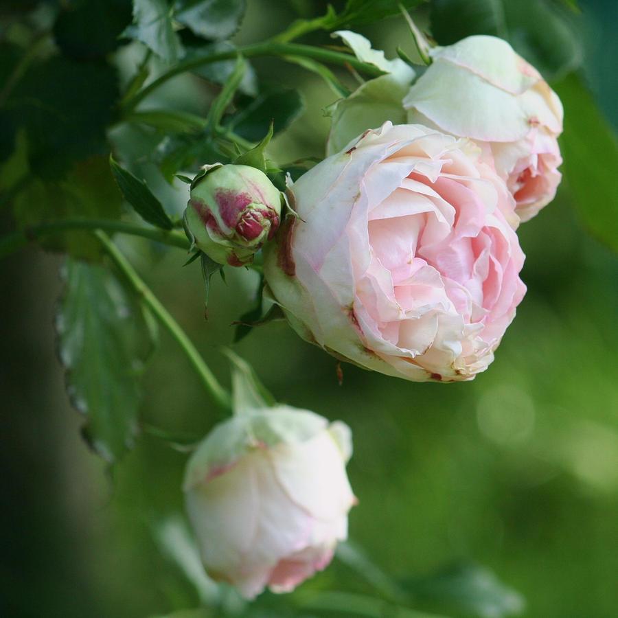 rose love 3 by ingeline-art