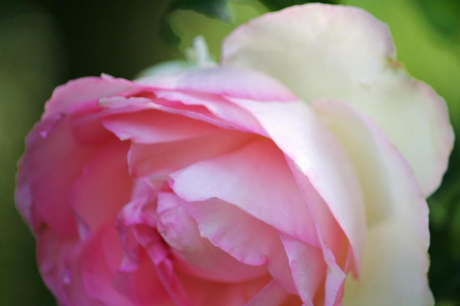 shine my rose by ingeline-art
