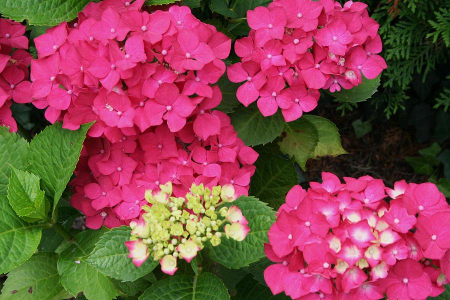 Hydrangeas in my garden today 5 by ingeline-art