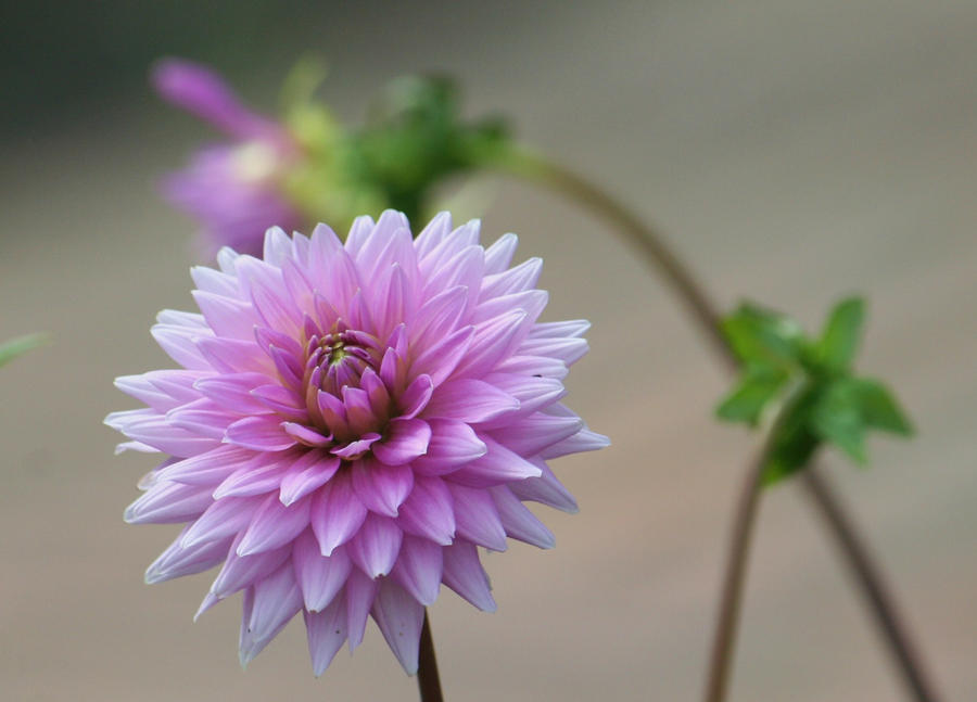 lilac filled dahlia by ingeline-art