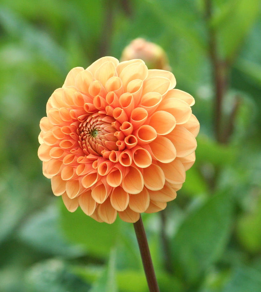 orange filled dahlia closer by ingeline-art