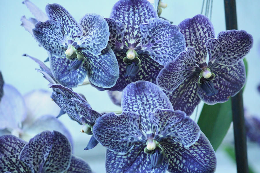 orchids floriade 17 by ingeline-art