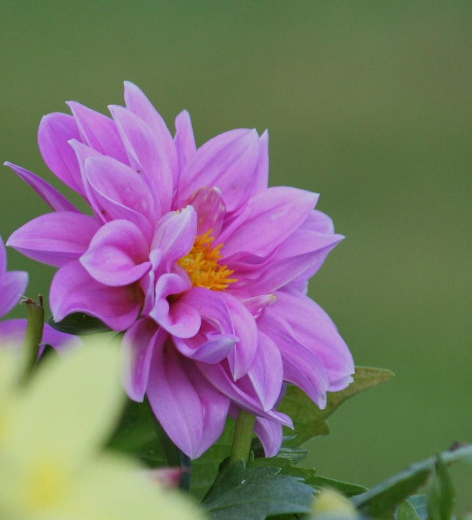 lilac dahlia by ingeline-art