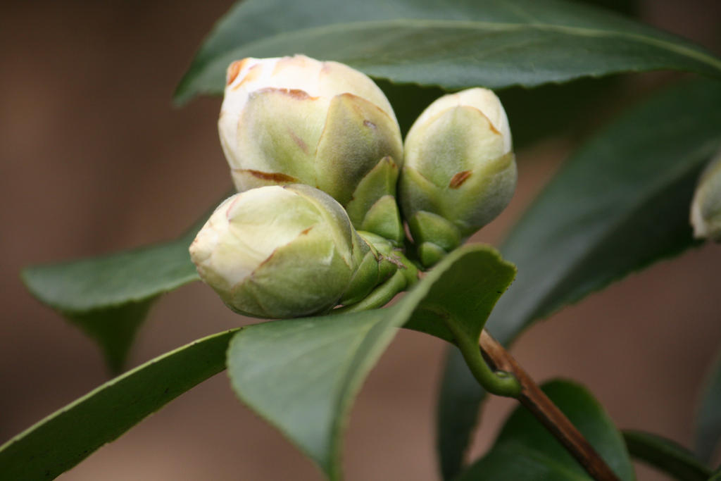 Buds of white camellia by ingeline art on deviantart buds of white camellia by ingeline art mightylinksfo
