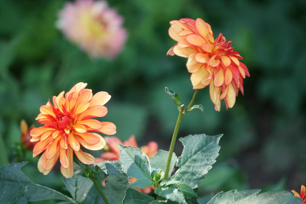 dahlias in Flora garden 40 by ingeline-art