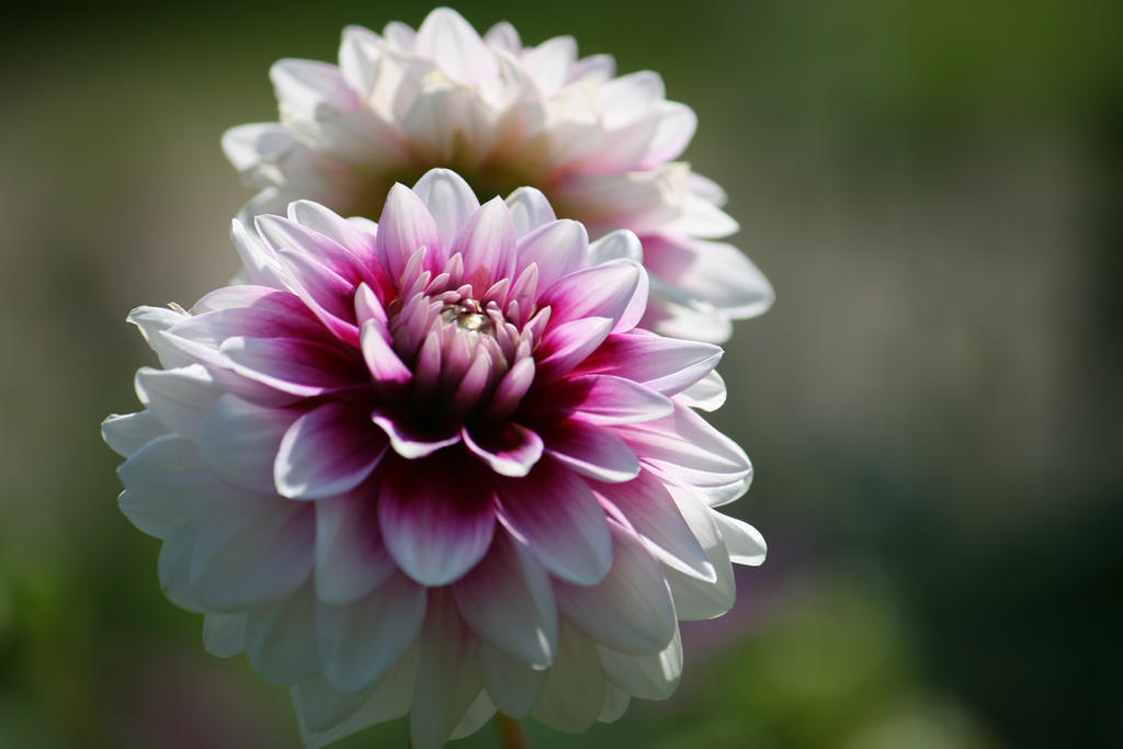 awesome dahlias by ingeline-art
