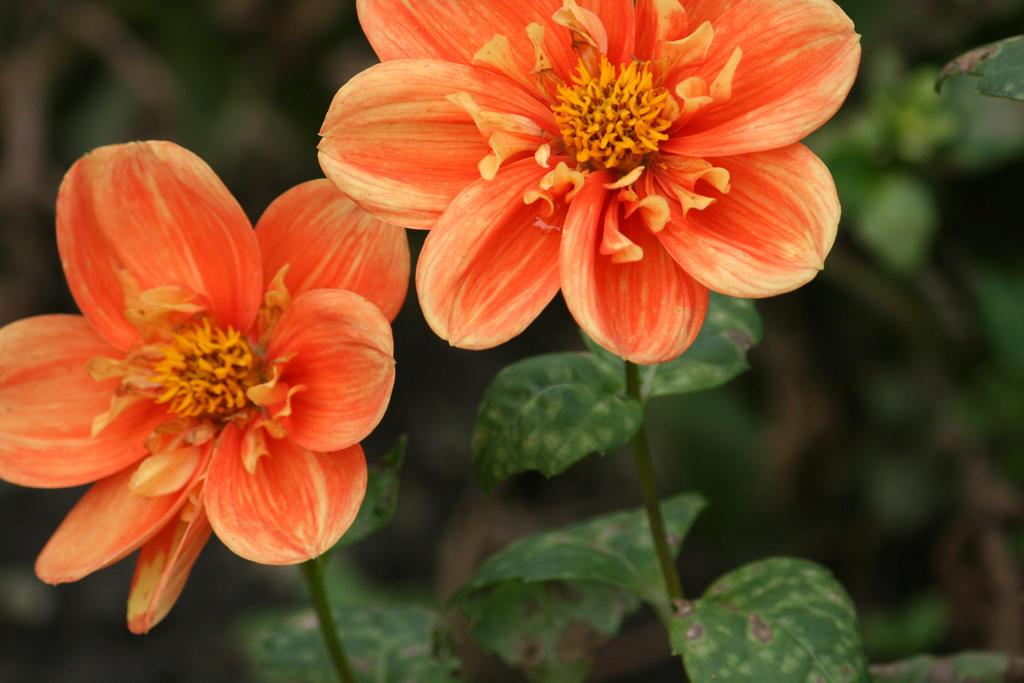 dahlias in Flora garden cologne 23 by ingeline-art